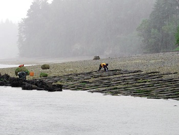 Photo of young oysters being laid out in mesh bags at Taylor Shellfish Farms