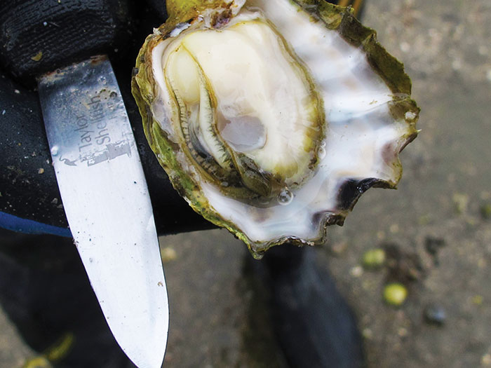 Photo of an oyster and shucking knife