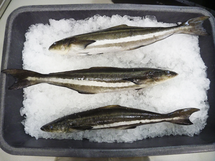 Tasty-results-for-Cobia-in-consumer-trials