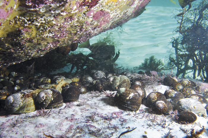 Photo of Periwinkles on an exposed reef