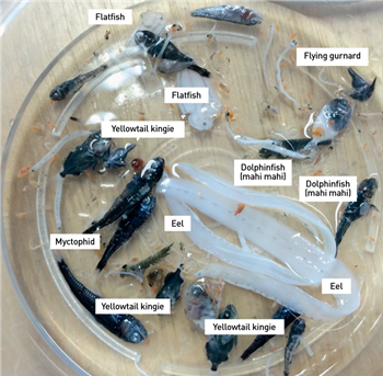 Photo of larval fish collected from an ocean eddy by researchers on RV Investigator