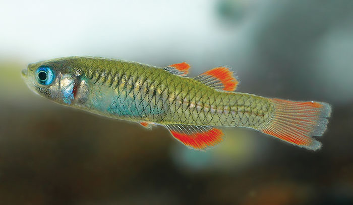 Photo of Redfin Blue Eye