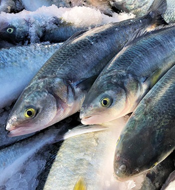 Photo of Australian Salmon iced at the point of harvest