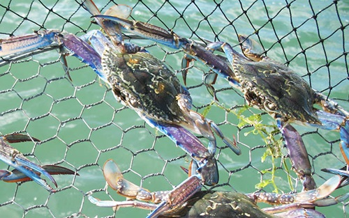 Photo of Blue Swimmer Crabs in nets