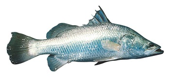 Photo of barramundi fish