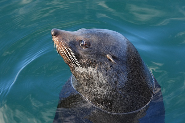 Photo of seal in water