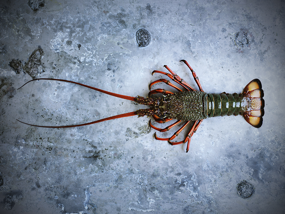 Eastern Rock Lobster_1851