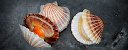 Commercial Scallop class=