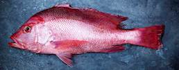 Saddletail Snapper class=