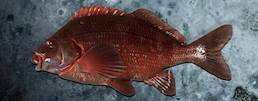 Banded Morwong class=